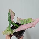 스트로베리  싱고니움(수입식물) 새로입고 (짙한핑크)