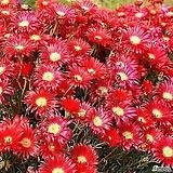 빨간 송엽국