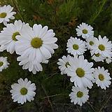한라구절초(가을꽃모종)