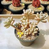성미인 군생 묵은둥이 - W26|Pachyphytum oviferum