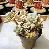 성미인 군생 묵은둥이 - W27|Pachyphytum oviferum