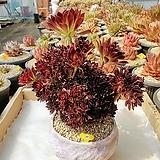 흑법사철화 오래묵은둥이 - W29|Aeonium arboreum var. atropurpureum