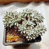 화이트그리니 묵은둥이 - W17|Dudleya White greenii