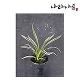 천금(3-4촉)/난/동양란/서양란/공기정화식물/풍란/나라아트|variegated