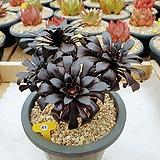 흑법사 군생 묵은둥이 - W41|Aeonium arboreum var. atropurpureum