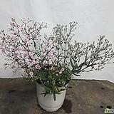 노지월동 되는 분홍 향기 후룩스