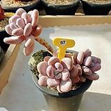 홍미인 오래묵은둥이 - W57|Pachyphytum ovefeum cv. momobijin