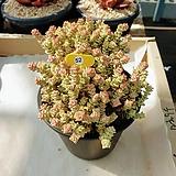 희성금 - W52|Crassula Rupestris variegata