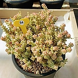 희성금 - W54|Crassula Rupestris variegata
