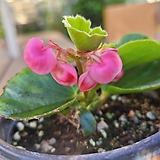 팝콘베고니아 분홍