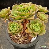Aeonium LilyPad