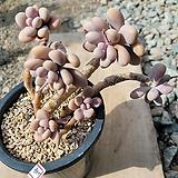 아메치스한몸묵은둥이|Graptopetalum amethystinum
