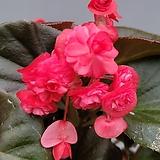 팝콘베고니아 흰꽃