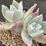 환엽블러쳐스583|Dudleya farinosa Bluff Lettuce