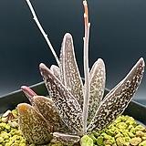 아드로미츄스/마리아나에(실생)-913|Adromischus Hemisphaericus