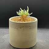 알스토니+수제토분(적화.실생.아프리카식물)-920|Avonia quinaria ssp Alstonii