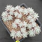 화이트그리니 묵은27두자연(꿀벅지) Dudleya White greenii