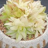 경화금 묵둥이 Haworthia cymbiformis f. variegata