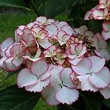 백리향 모종(5개) 허브 약용식물 [천지가야생화]