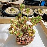 을려심철화 - W58|Sedum pachyphyllum