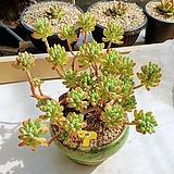 을려심철화 묵은둥이 - W59|Sedum pachyphyllum