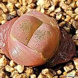 레드마우가니7|Conophytum maughanii