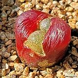 레드마우가니16(사이즈좋아요)|Conophytum maughanii