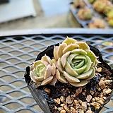 온슬로우 |Echeveria cv Onslow