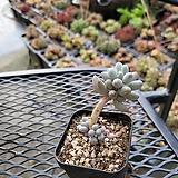 베이비핑거  |Pachyphytum Machucae(baby finger)