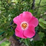 분홍 찔레 분재