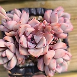Echeveria Pretty in Pink