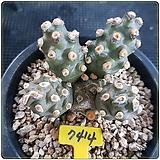 양귀전 실생(테프로칵투스 모리넨시스 Tephrocactus molinensis )|
