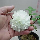 토긴이바라5번-중국고전산딸기-가시없는 국화피기-동일품배송|