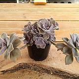 퍼플딜라이트 군생(적심) 5-0011|Graptopetalum Purple Delight