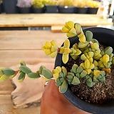 벽어연금 5-0017|Corpuscularia lehmanni