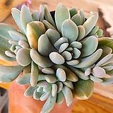 석연화금 5-0024|Pachyveria Pachyphytodies