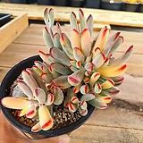 원종방울복랑금 5-0031|Cotyledon orbiculata cv variegated