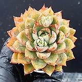 핑크계열 아젤리아 금황  잉카 아젤레아 연산홍 철쭉