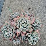 후레뉴자연한몸 Pachyphytum cv Frevel