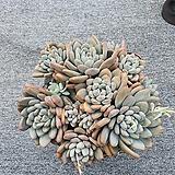 후레뉴자연한몸대품 Pachyphytum cv Frevel