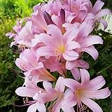 분홍상사화 구근 (1구) 
