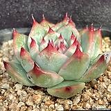 치와와금(금잎장 하나)-63|Echeveria chihuahuaensis