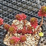 Sedum Rubrotinctum Redberry