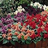 사루비아 비스타 혼합 꽃 모종 10cm화분묘 꽃말 꽃집 반려식물 야생화  