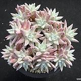 화이트그리니 0509|Dudleya White greenii