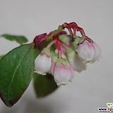 애기모세나무7번-한국토종블루베리-상록-자생종-동일품배송|