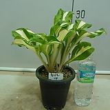 흑산도설백중투-2촉-뚜꺼운잎-팔방피기-동일품배송|