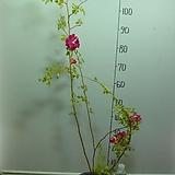 사계 가시없는향기덩굴장미1번-카멜레온장미-꽃색이 변합니다-향기가죽음-동일품배송|