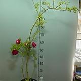 사계 가시없는향기덩굴장미2번-카멜레온장미-꽃색이 변합니다-향기가죽음-동일품배송|