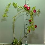 사계 가시없는향기덩굴장미3번-카멜레온장미-꽃색이 변합니다-향기가죽음-동일품배송|